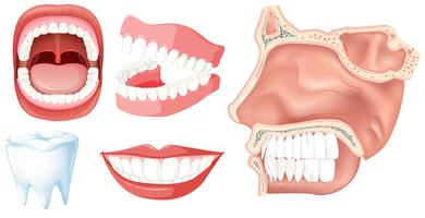 Um conjunto de dentes humanos