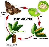 Diagrama do ciclo de vida da traça vetor