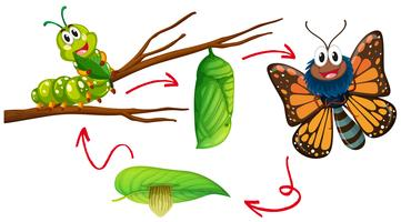 Diagrama de ciclo de vida da borboleta vetor