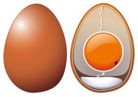 Uma anatomia de ovos de galinha vetor