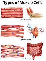 Diagrama mostrando os tipos de células musculares vetor