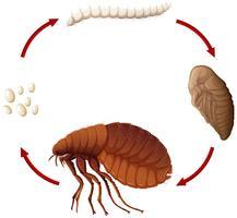 Ciclo de vida de uma pulga vetor