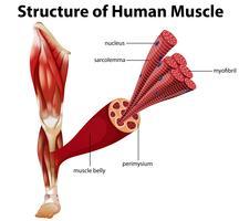 Uma estrutura do músculo humano vetor