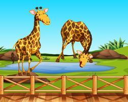 Duas girafas em um zoológico vetor