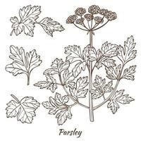 planta de salsa e folhas desenhadas à mão vetor