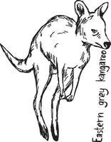canguru cinza oriental - esboço de ilustração vetorial vetor