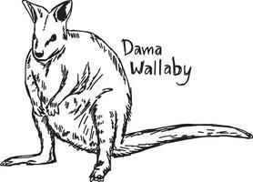 dama wallaby - desenho de ilustração vetorial desenhado à mão vetor
