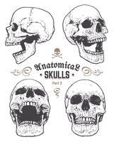 Conjunto de vetores de crânios anatômica