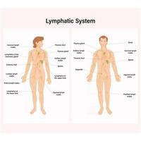 folha explicativa com as partes do sistema linfático vetor