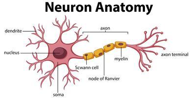 Diagrama da Anatomia Neuroniana vetor