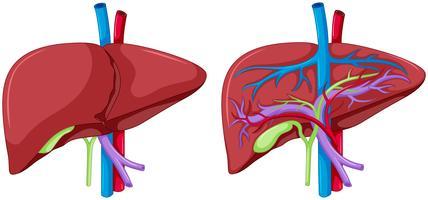Dois, diagrama, de, fígado, anatomia vetor