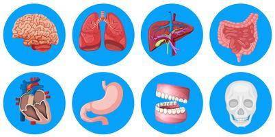 Órgãos humanos no crachá redondo vetor