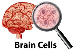 Célula do cérebro humano em backgrounf branco vetor
