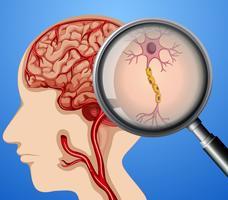 Anatomia Humana dos Nervos Neuronais Cerebrais vetor