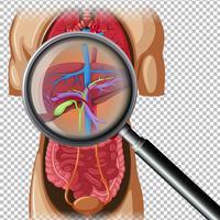 Anatomia humana do fígado vetor