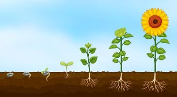 Diagrama das fases de crescimento das plantas vetor