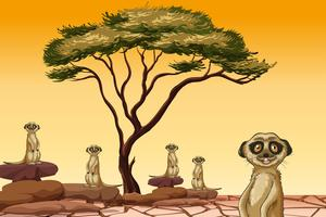Meerkat vivendo em terra seca