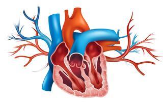 Coração humano vetor