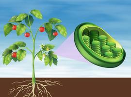 Cloroplastos em plantas vetor