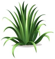 agave bracteosa vetor