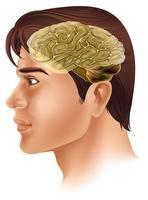 Cérebro humano vetor
