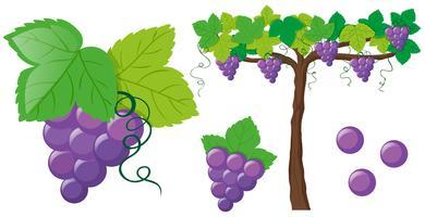 Uvas frescas na videira vetor