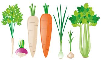 Diferentes tipos de vegetais de raiz vetor