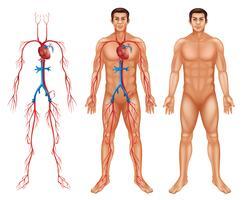 Sistema circulatório masculino vetor