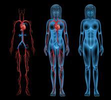 Sistema circulatório feminino vetor