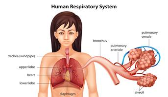 Sistema respiratório humano feminino vetor