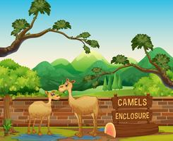 Camelos felizes no zoológico aberto vetor