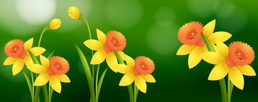 Cena fundo, com, narciso, flores vetor