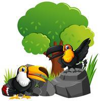Dois, tucano, pássaros, pedras