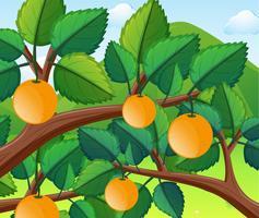 Laranjas na árvore vetor