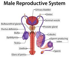 Gráfico mostrando sistema reprodutor masculino vetor