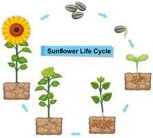 Diagrama mostrando o ciclo de vida do girassol vetor