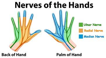 Diagrama mostrando os nervos das mãos