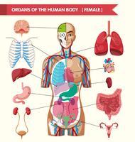 Órgãos do diagrama do corpo humano vetor