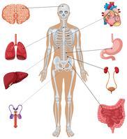 Órgãos humanos em fundo branco vetor