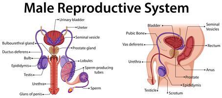 Diagrama mostrando sistema reprodutor masculino vetor