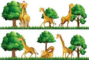Girafas descansando no campo