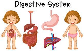 Menina, e, sistema digestivo, diagrama vetor