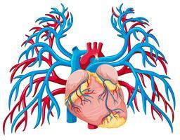 Um coração humano no fundo branco vetor