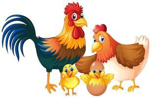 Família de frango isolado no fundo branco vetor