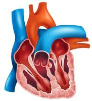 Secção transversal do coração vetor