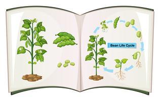 Livro do ciclo de vida do feijão vetor