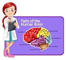 Doutor, e, partes, de, cérebro humano vetor