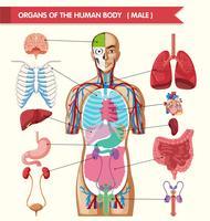 Gráfico mostrando órgãos do corpo humano vetor