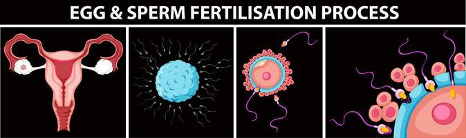 Processo de fertilização de ovos e espermatozóides vetor