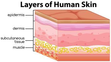 Camadas de conceito de pele humana vetor